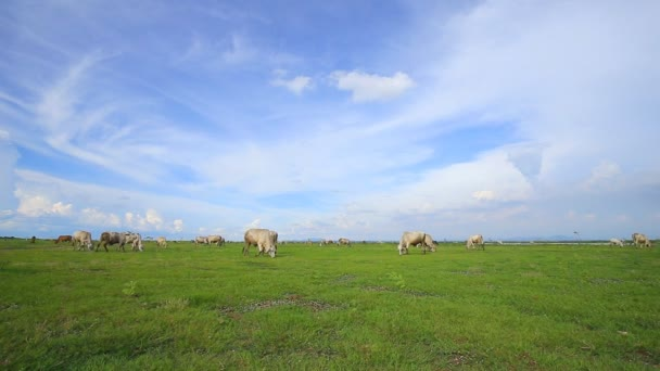 Kráva pojídající trávu v trávě