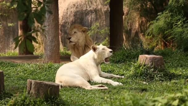 Férfi és női fehér oroszlánok fekszenek