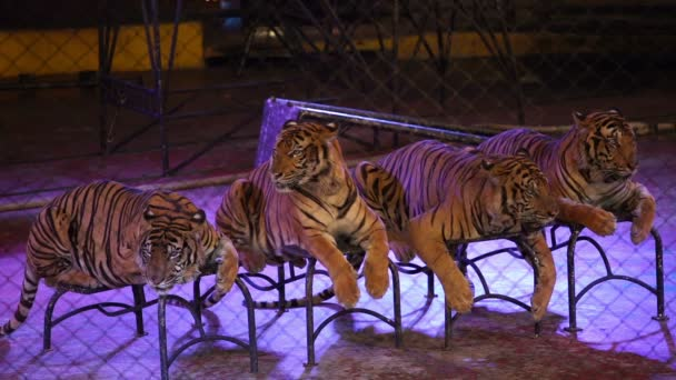 čtyři bengálští tygři v kleci