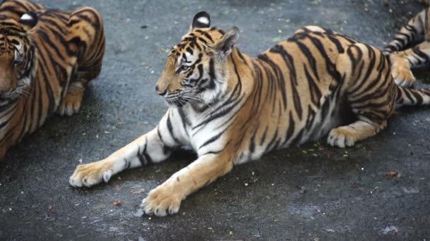 a bengáli tigris lassított mozgása