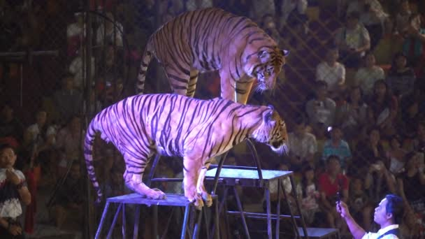 CHONBURI, THAILAND, MARCH 1, 2018: bengal tiger in a cage at a circus performance tricks, Cage of the Tigers at Sriracha Tiger Zoo, Thailand