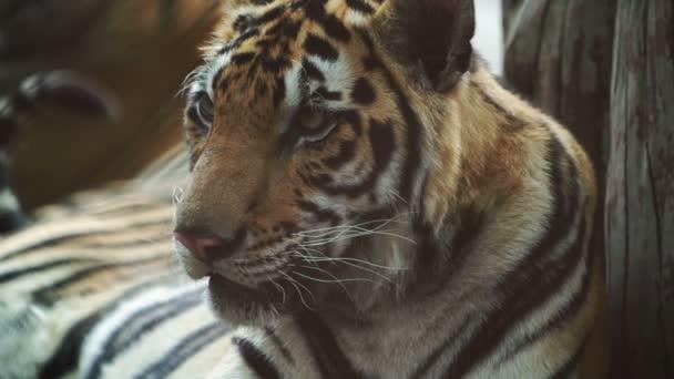 zpomalení bengálského tygra