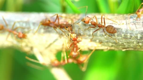 Ameisen küssten sich auf dem Ast