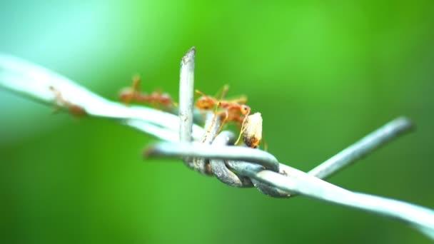 mravenci nesoucí jídlo na drátě