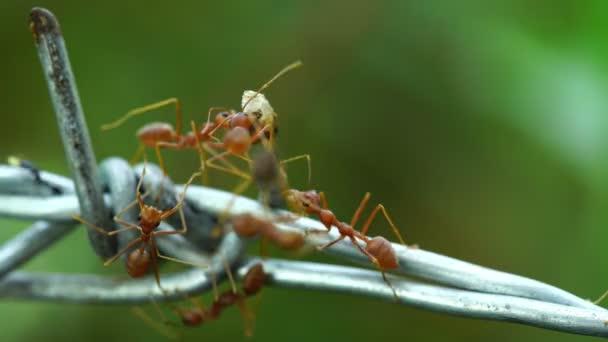 a dróton élelmet szállító hangyák