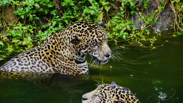 Slow-motion of Two jaguar playing and swimming in pond