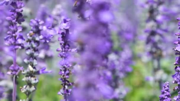 panning shot of Lavender flower with wind blow