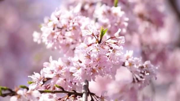 krásné sakura, třešňové květy v Tokiu, Japonsko