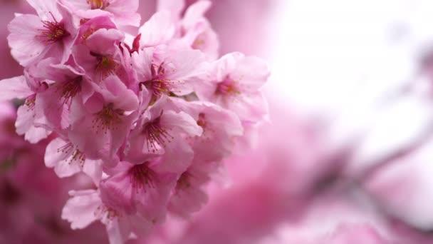 gyönyörű Sakura, cseresznyevirág a tavaszi szezonban