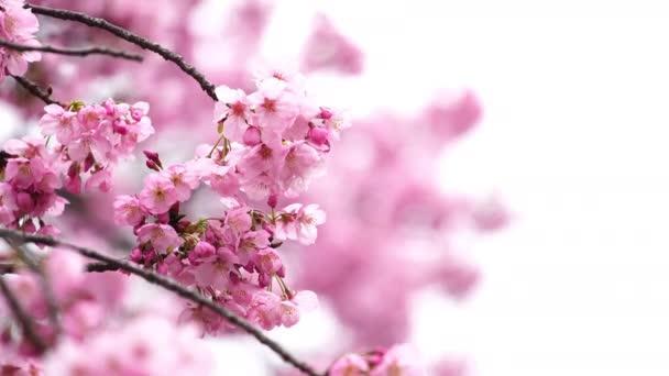 krásná Sakura, květ třešňového květu na jaře