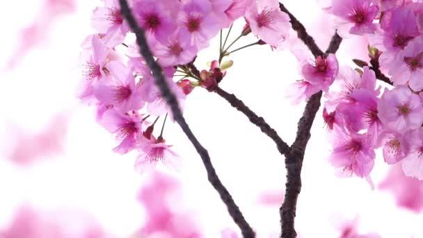 panning záběr krásné Sakura, Cherry Blossom květiny v jarní sezóně
