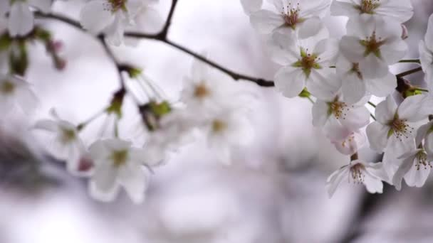 panning shot of beautiful Sakura, Cherry Blossom flower in spring season