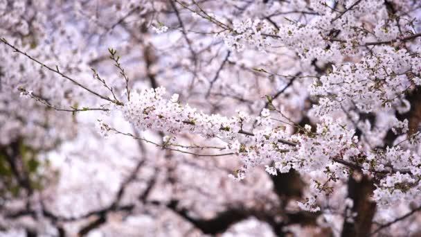 krásná Sakura, květ třešňových květů se slunečním svitem na jaře