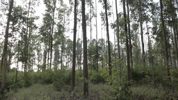 Eukaliptusz leveles zöld fa nagyon magas a sun fény és környezeti háttérben erdő ég ellen