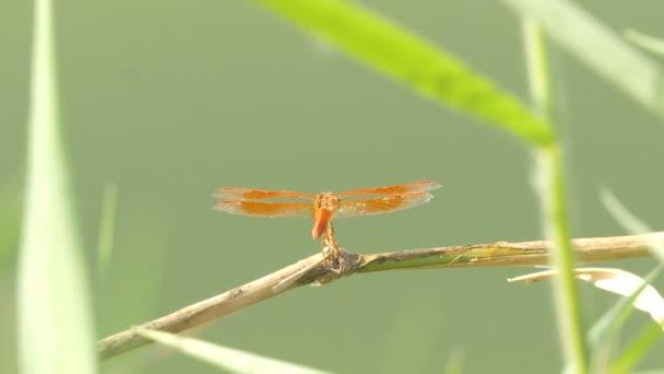 A gyönyörű szitakötő rovar nyugszik zöld fű tó a nyári napon