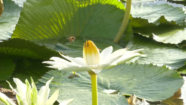 Včela v lotus a pracovní skupiny Bee najít pylu na lotus v den na ráno, Bangkok Thajsko