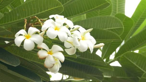 A bouquet of plumeria ( frangipani ) flowers on trees that specific flowers