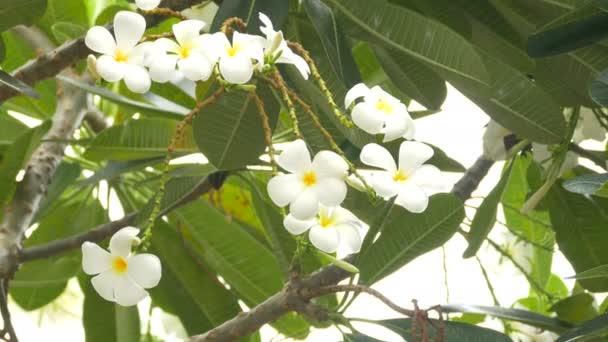 Egy csokor plumeria (frangipani) virágok a fák, hogy bizonyos virágok