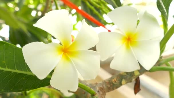 A bouquet of plumeria ( frangipani ) flowers on trees that specific flowers:Ultra HD 4K High quality footage size 3840x2160
