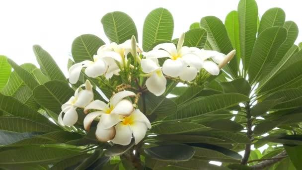Egy csokor plumeria (frangipani) virágok a fák, hogy bizonyos virágok: Ultra 4k Hd minőségű felvételeket méret 3840 x 2160