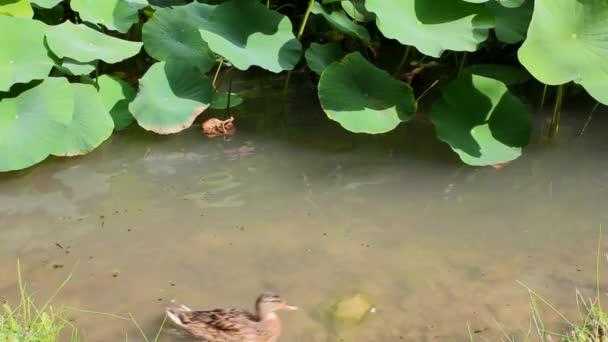 Kachny v rybníce pod lotosového květu listy