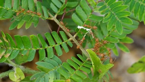 Tkadlec mravenci nesou materiál