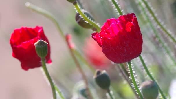 Mák setý květů a semen pod foukané větrem