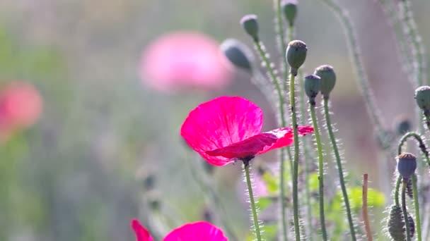 květy máku a šešule foukané větrem