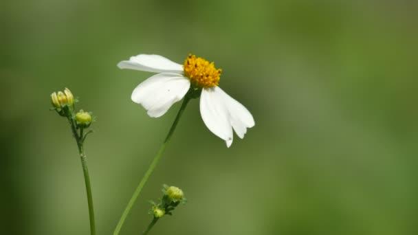 Květy sedmikrásky Tridax a vítr