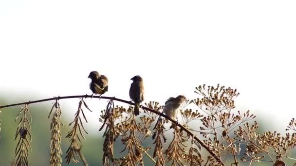 tři prsy Astrildovec Munia odpočívá a čištění křídla
