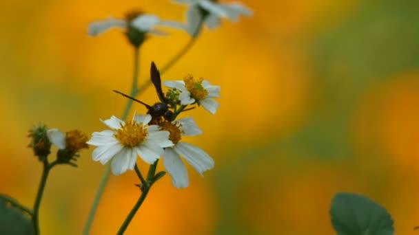 hymenopteran sběr nektar z květu
