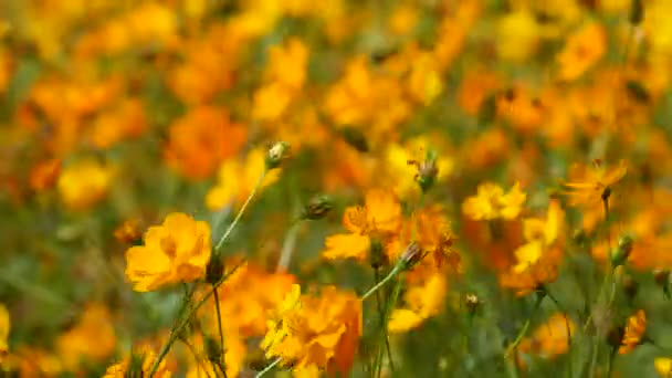 orange cosmos flowers shaking with the wind