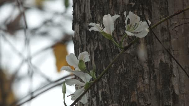 Orchideenbaumblüten zittern mit dem Wind