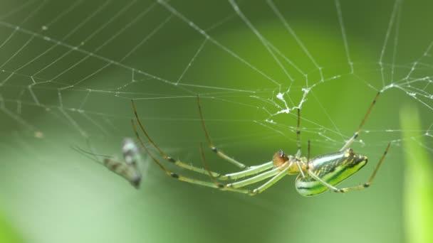 zlaté koule weaver spider visí na webu