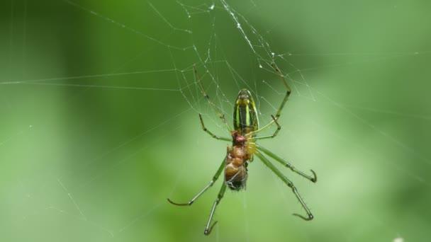 zlaté koule weaver spider jíst kořist