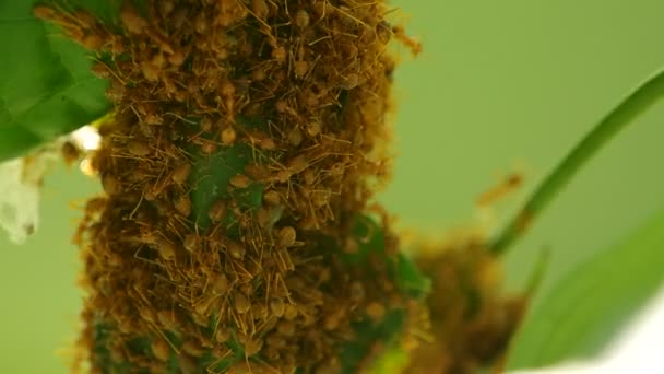 weaver ants are building their hive