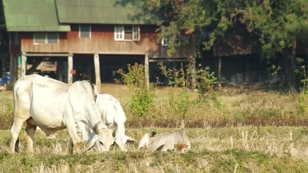 matka kráva a její potomci