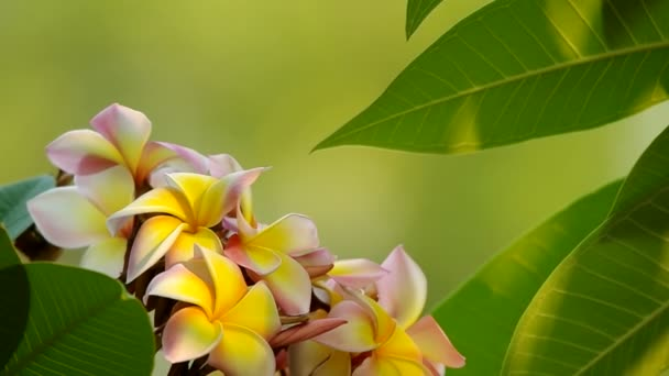 plumeria flowers and leafs