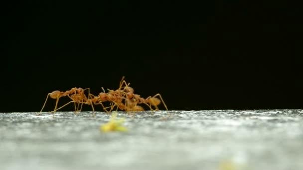 Tkadlec mravenci nesou mrtvé mravence