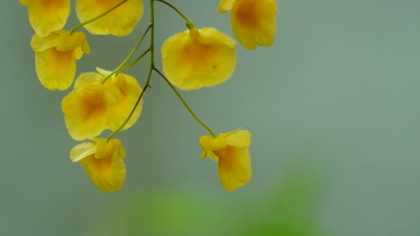 Dendrobium orchidea virágok