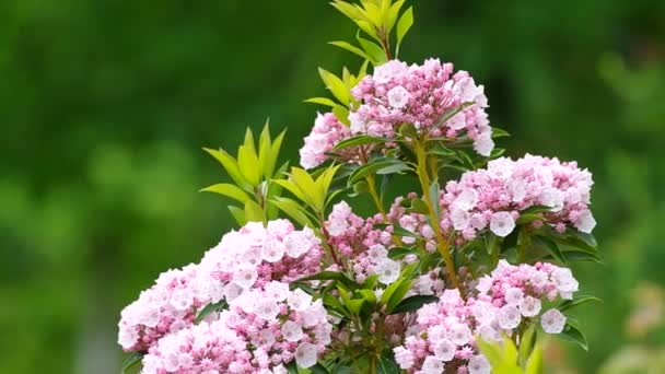 Mountain Laurel and wind