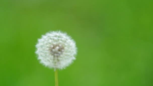 vad pitypang virágot és a szél