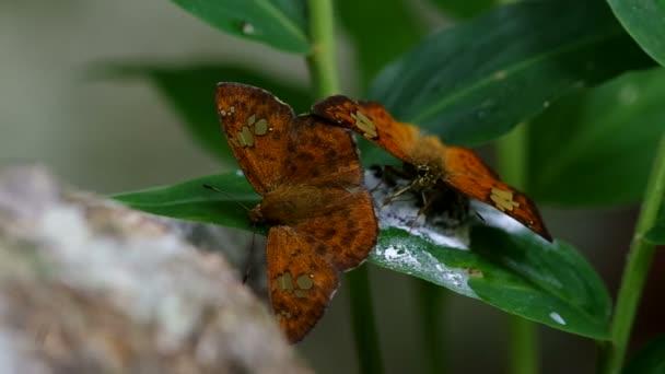 Kapitán dva motýli pití přírody výkaly