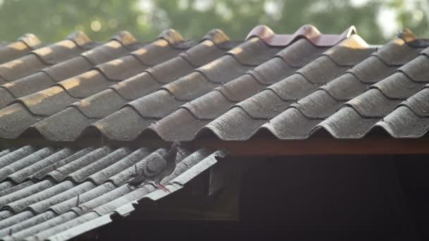 holub na střeše