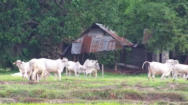 krávy v oblasti u staré stavení