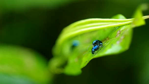Vegetable flea beetles mating