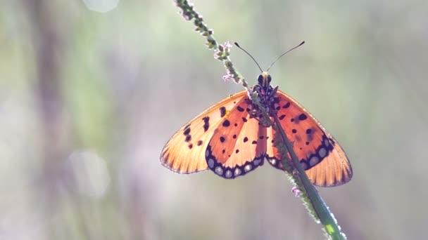 motýl na natáčení řas