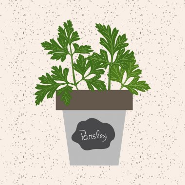 Vector - Fresh parsley herb in a flowerpot. Aromatic leaves used
