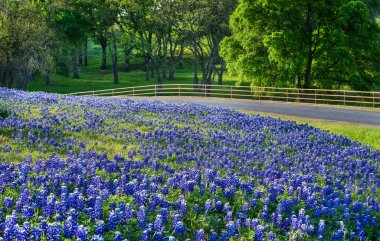 Texas bluebonnet field along country road