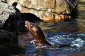 Fotografia Leone marino californiano